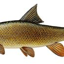 Barbel Decal