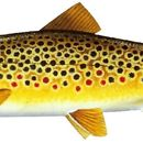 Brown Trout 2 Decal