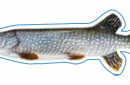 Pike Decal