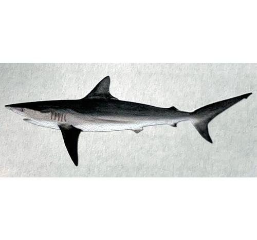 SHARK Decal
